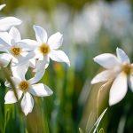 Narzissenblüte im Mariazellerland Juni 2021 - Fotos und Video